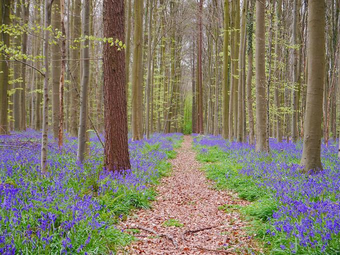 Chàng trai Việt lạc bước giữa rừng hoa chuông xanh ở Bỉ