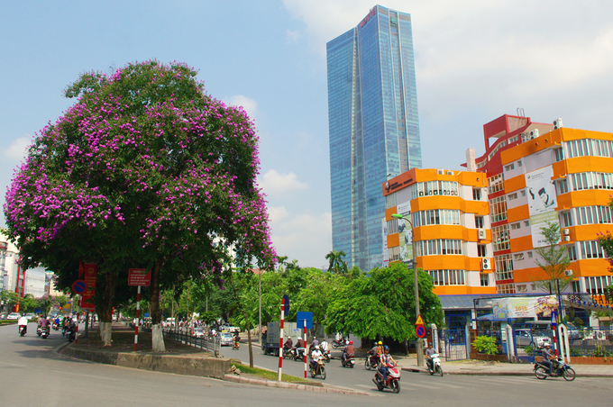 Mùa hoa tím trên khắp phố phường Hà Nội