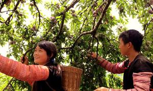 Chủ vườn bán một tấn mận trong ngày hội hái quả Mộc Châu