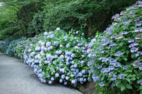 Takahata Fudoson   Từ khu vực xung quanh đền Takahata Fudoson lên tới ngọn núi cao sau đó là khoảng 7.500 cây hoa cẩm tú cầu của 200 loại khác nhau. Hoa nở ngập tràn khắp các khu vực với độ cao khác nhau mà nơi nào cũng rực rỡ sắc màu. Loài hoa cẩm tú cầu núi hiếm hoi cũng có ở con đường Shiki no Michi, trong khi hoa cẩm tú cầu Pháp lại nở ở đường Yamauchi Hachijuuhachikasho Junpai. Tham quan ở hai khu vực này du khách cũng mất tới một tiếng. Du khách nên mang theo giày mềm để di chuyển thoải mái hơn. Trong suốt mùa lễ hội, nhiều sự kiện như hội chợ hay thi võ judo thường được tổ chức vào các cuối tuần. Từ thứ 4 đến thứ 6, ngoài ngắm hoa du khách có thể thưởng trà. Lễ hội hoa ở Takahata Fudoson diễn ra từ đầu tháng 6 tới đầu tháng 7.