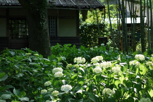 Kyodo no Mori   Đây là một khu vực có một bảo tàng, nhà mô hình vũ trụ, các tòa nhà được bảo tồn và một công viên cùng 10.000 cây hoa cẩm tú cầu bung nở. Những ngôi nhà cổ kính như nhà truyền thống xây từ năm 1829 hay trường tiểu học xây từ năm 1935 càng tôn lên vẻ đẹp cho hoa cẩm tú cầu tạo không gian đặc biệt cho du khách tham quan. Suốt mùa hoa ở đây, bạn có thể xem những buổi biểu diễn của các nghệ nhân thủ công như amezaiku (làm con giống bằng đường), hariganezaiku (làm vòng) hoặc bekkouame (làm kẹo màu hổ phách từ đường và nước). Lễ hội hoa cẩm tú cầu diễn ra ở Kyodo no Mori từ cuối tháng 5 tới đầu tháng 7. Vé vào bảo tàng để tham quan là 200 yen/người (40.000 đồng).
