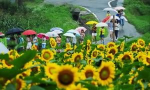 Ngôi làng hoa hướng dương khách ùn ùn kéo đến