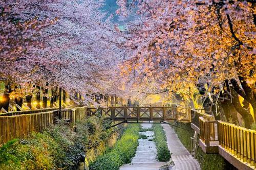 Đặt vé tháng 10-11, du khách sẽ được ngắm xứ kim chi mùalá rụngvào thời điểm đẹp nhất trong năm.