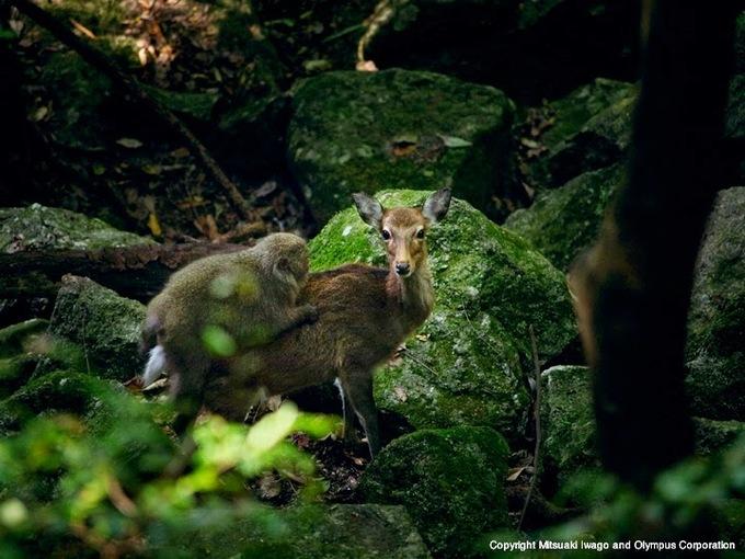 Nơi khỉ cưỡi hươu 'đi dạo' tại Nhật Bản