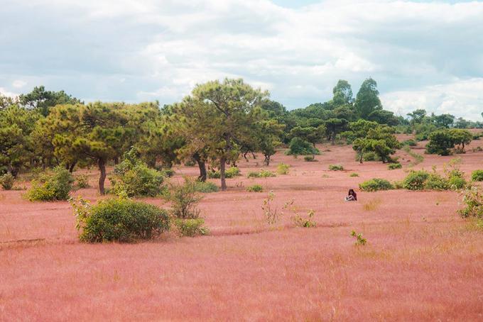 Đồi cỏ hồng ở Gia Lai hút khách chụp hình 'sống ảo'