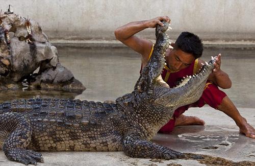 Một độc giả khi nhìn thấy bức ảnh này cho biết, cô đã toát mồ hôi tay vì mức độ nguy hiểm của nghề biểu diễn cùng cá sấu. Nhiều người cũng đồng tình khi cho rằng, đây là nghề nguy hiểm nhất trong ngành du lịch Thái Lan. Ảnh: BarcroftMedia.