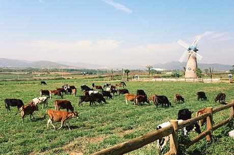 Hình ảnh những chú bò sữa tung tăng gặm cỏ trở thành background sống ảo cực chất. Ảnh: Quỳnh Trần.