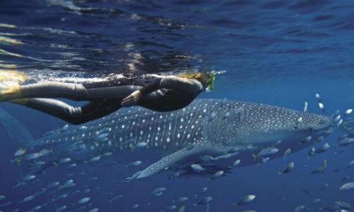 Trải nghiệm bơi cùng cá mập voi dù nguy hiểm vẫn thu hút đông du khách tham gia.Ảnh: News.