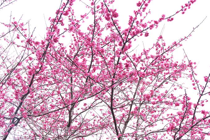 Hoa anh đào Nhật Bản nở rộ giữa lòng hồ ở Điện Biên