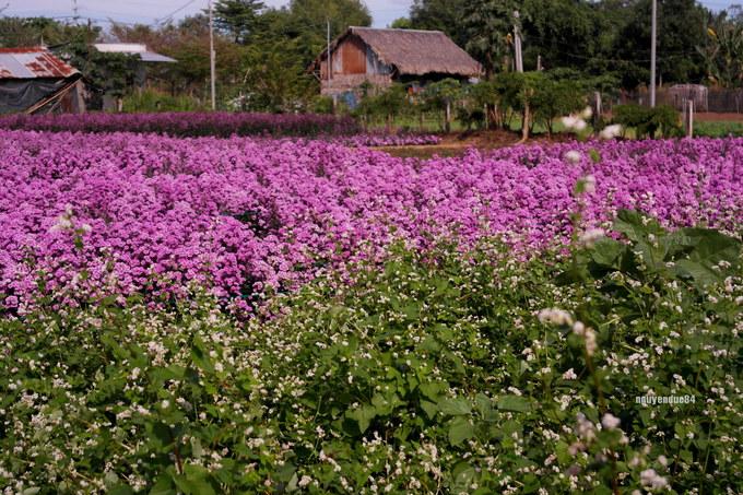 Vườn hoa thạch thảo đang gây sốt ở Bà Rịa Vũng Tàu