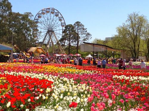 Những cánh đồng hoa đang chờ đón du khách du xuân.