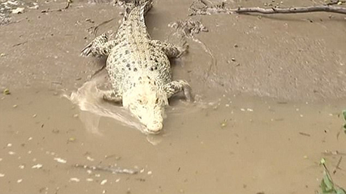 Khúc sông bỗng hút khách nhờ cá sấu bạch tạng - ảnh 1