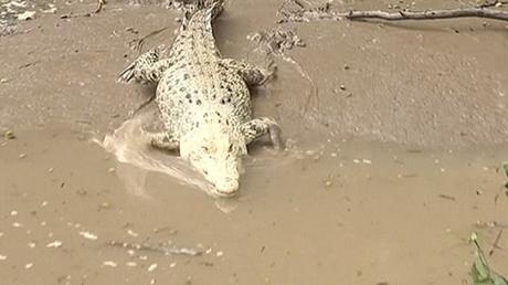 Con cá sấu được cho là mắc chứng bệnhhypomelanism.