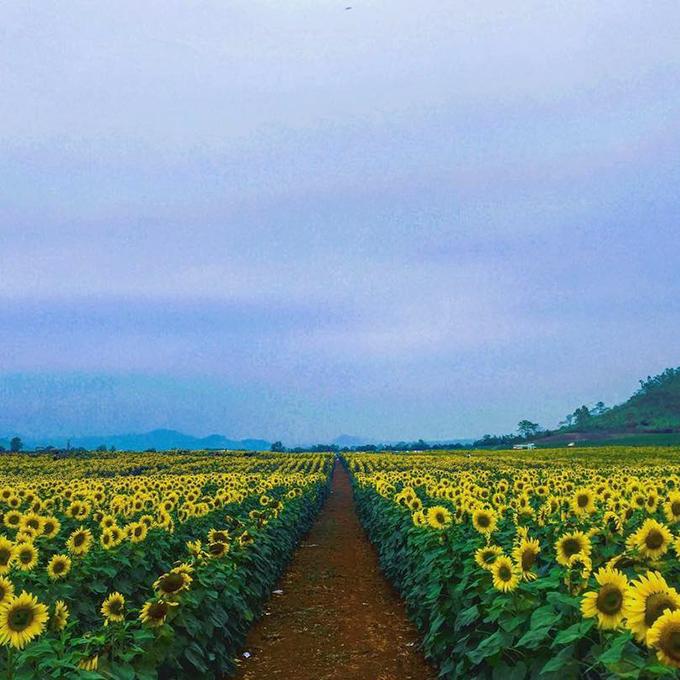 Du khách đổ xô đến đồng hoa hướng dương lớn nhất Việt Nam