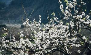 Thung lũng hoa Mộc Châu bung nở dịp đầu năm