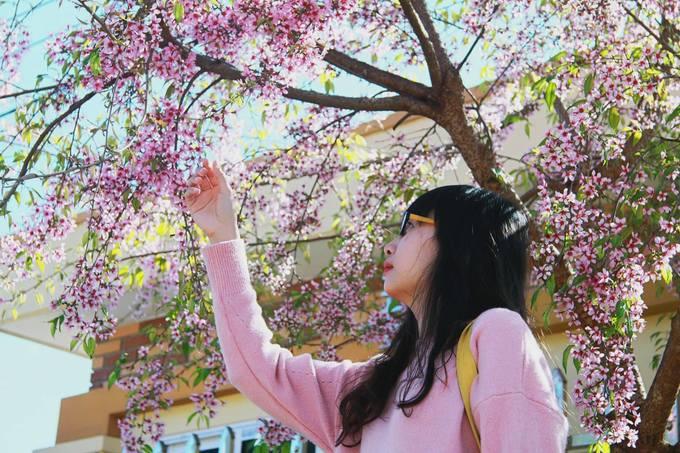 Thung lũng hoa Mộc Châu bung nở trong nắng xuân