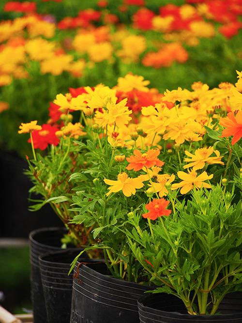 Làng hoa Sa Đéc đông khách những ngày cận Tết