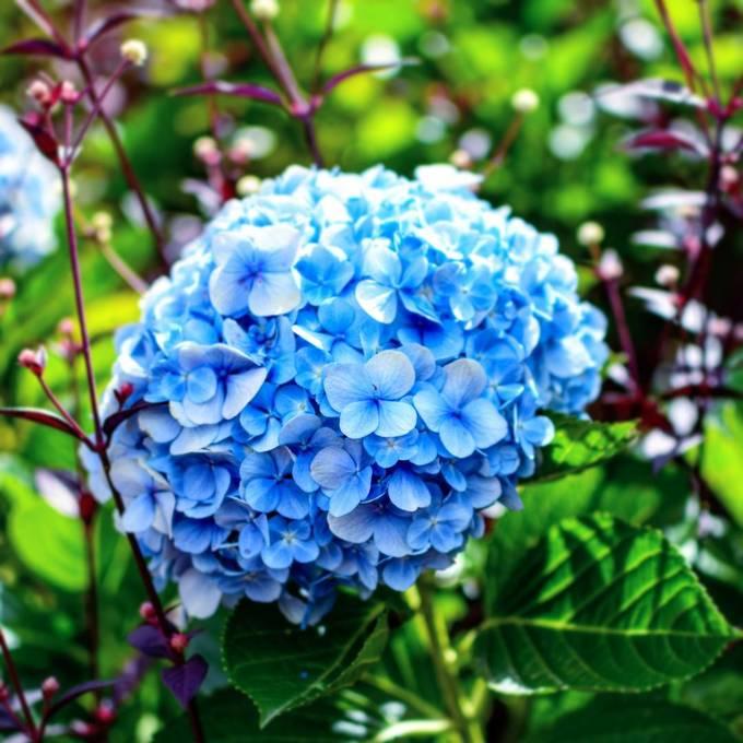 5 vườn hoa cẩm tú cầu 'để dành' cho Tết đi Đà Lạt