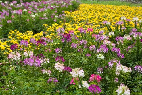 Ngọc thảo, dạ yến thảo, lavender, mai địa thảo, hoa phong nữ, hoa xác pháo, cùng hàng trăm giống hoa hồng đến từ các miền đất khác nhau như: hoa hồng cổ Sapa, Hải Phòng, hoa hồng đỏ và nhiều loại hoa hồng nhập ngoại từ Bulgari, Anh&đang đua nhau khoe sắc trong tiết trời se lạnh. Tất cả các loài hoa tụ hội về đây đã tạo nên một thung lũng hoa đẹp dịu dàng ngay bên Hồ Tây thơ mộng.