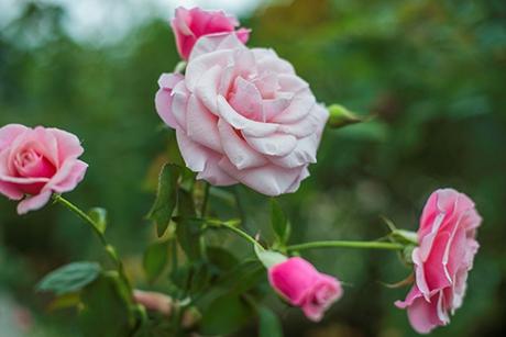 Sắc hoahồng tại vườn yêu của Vinpearl Nha Trang