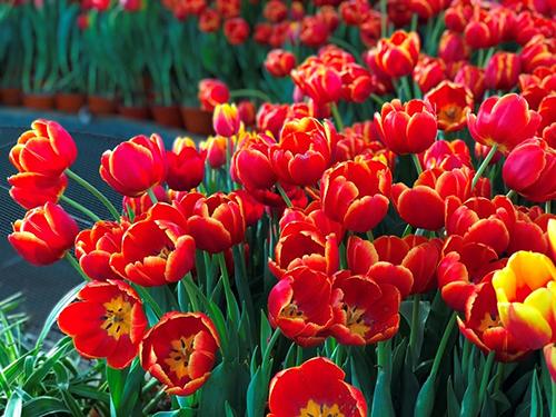 Sắc hoahồng tại vườn yêu của Vinpearl Nha Trang - 10