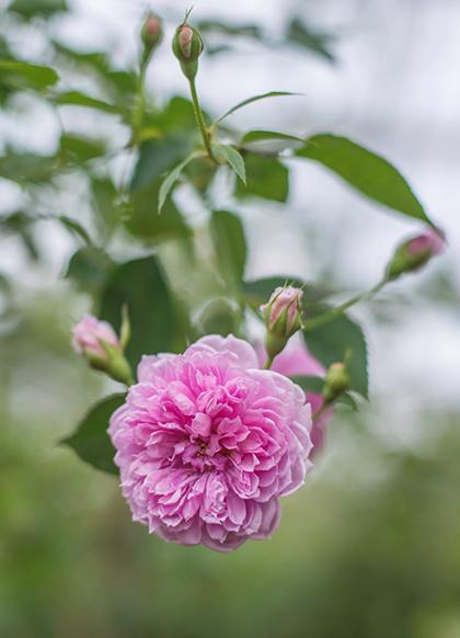 Sắc hoahồng tại vườn yêu của Vinpearl Nha Trang - 2