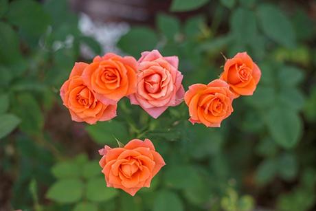 Sắc hoahồng tại vườn yêu của Vinpearl Nha Trang - 3
