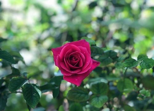 Sắc hoahồng tại vườn yêu của Vinpearl Nha Trang - 4