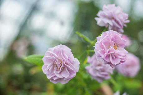 Sắc hoahồng tại vườn yêu của Vinpearl Nha Trang - 5