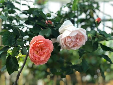Sắc hoahồng tại vườn yêu của Vinpearl Nha Trang - 6
