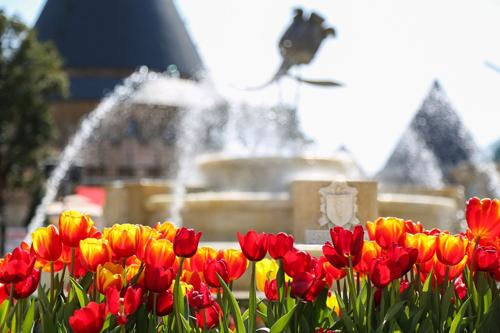 Đặc biệt nhất trong lễ hội hoa năm nay ở Sun World Ba Na Hills là cuộc hội tụ của muôn màu hoa tulip. Có vài chục màu hoa tulip cùng khoe sắc trong nắng xuân. Tulip ở đây bông nở to hơn, màu hoa cũng rực rỡ hơn, và tươi lâu hơn so với nhiều nơi khác.