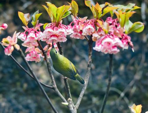 Chưa có năm nào, loài hoa đào chuông đặc trưng của mùa xuân trên đỉnh núi Chúa lại nở rộ như năm nay. Đứng trước sắc hồng chúm chím của những chiếc chuông nhỏ xíu này, bạn sẽ khó cầm lòng mà ghi những bức hình chỉ có ở Sun World Ba Na Hills.