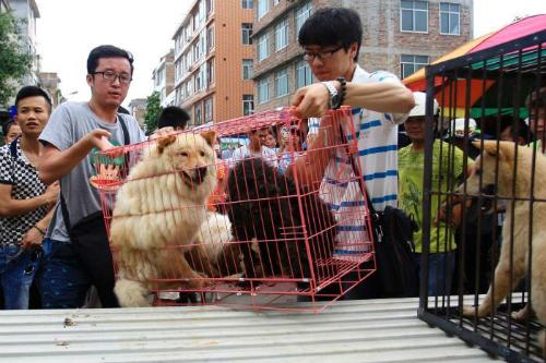 Những người thuộc tổ chức bảo vệ động vật đang giải cứu những con chó trước thềm lễ hội thịt chó Ngọc Lâm. Ảnh:Reuters.