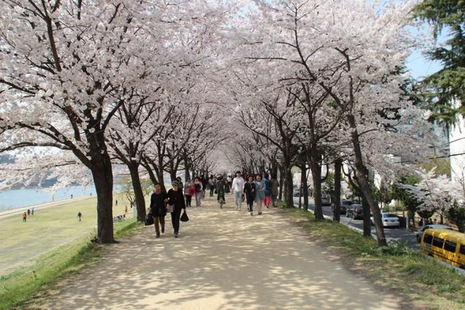 Dự báo lịch nở hoa anh đào ở Hàn Quốc 2018