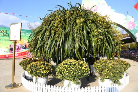 Và nổi bật hơn cả chính là cây địa lan khổng lồ lớn nhất Sa Pa từ trước tới nay với 314 cành hoa, đường kính 8m được trưng bày ngay tại khu vực cổng vào hội hoa xuân. Thứ hoa đặc trưng của núi rừng Tây Bắc khiến nhiều du khách ngẩn ngơ vì vẻ đẹp kiêu kỳ, căng tràn nhựa sống.