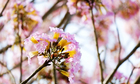 Mùa hoa phấn phủ hồng trời Bảo Lộc
