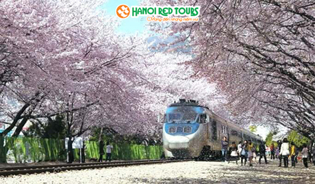 Giảm 5 triệu đồng tour ngắm hoa anh đào tại Seoul  Busan - 1