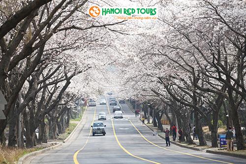 Giảm 5 triệu đồng tour ngắm hoa anh đào tại Seoul  Busan - 2