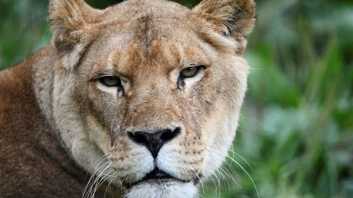 Đội cứu hộ xác nhận họ nhận được cuộc gọi về vụ một con sư tử cái tấn công một phụ nữ. Ảnh:BBC.