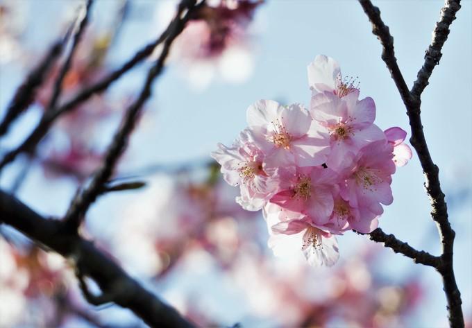 Hoa anh đào khoe sắc rực rỡ ở Kanagawa