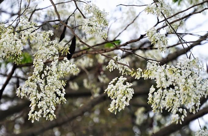 Mùa hoa sưa nở trắng trời Hà Nội