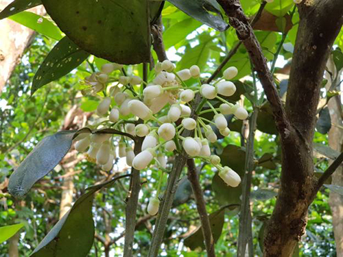 Xong bữa sáng, hãy ghé thăm ngôi làng cổ Thủy Biều, cách trung tâm thành  phố Huế chỉ 5km. Ngôi làng được bao bọc ba bề bởi dòng sông Hương này  nổi tiếng với nghề trồng thanh trà, một loại cây họ bưởi nhưng có vị  ngọt đậm hơn, một loại quả được dùng để tiến vua ngày trước.