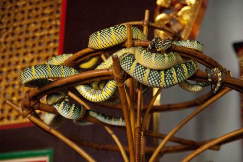 Phần lớn rắn trong đền đều là rắn độc. Ảnh: Wiki.