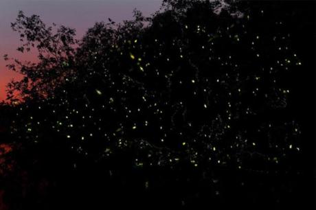 Min Fireflies Garden  Vườn đom đóm, cách trung tâm 30 phút lái xe cũng là điểm đến hấp dẫn khi đến với Kota Bharu. Chèo thuyền len lỏi qua con rạch nhỏ để ngắm đàn đom đóm lập lòe trong không gian sập tối sẽ là một trong những trải nghiệm khó quên trong đời.