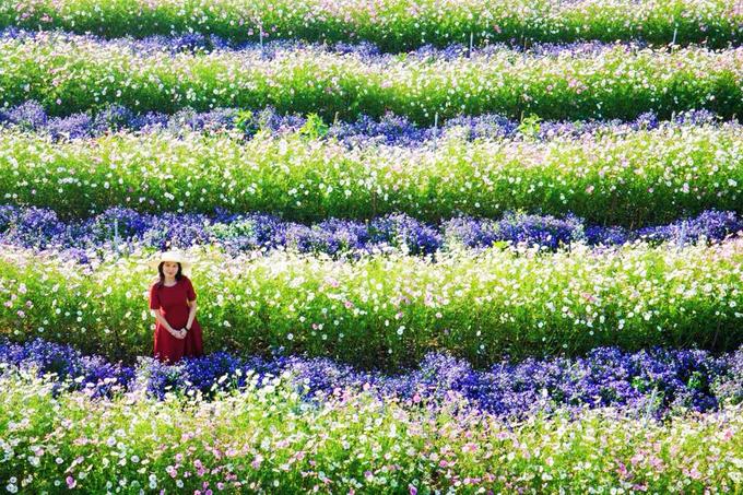 Cánh đồng hoa như trời Âu ở Đà Lạt
