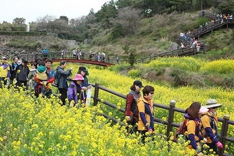 Gặp gỡ Jeju vào mùa hoa cải bung nở.