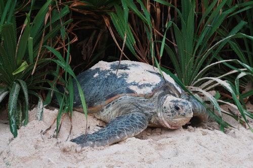 Trong văn hóa phương Đông nói chung và Việt Nam nói riêng, rùa là biểu tượng của nhiều điềm lành, sự bình an và trường thọ. Nằm trong bộ Tứ Linh (Long, Lân, Quy, Phụng), so với những linh vật khác như rồng hay phượng hoàng, rùa là sinh vật có thật và theo tương truyền, sự hiện diện của loài động vật này giúp mang lại sự vững chắc và vượng phát trên con đường công danh, sự nghiệp. Đặc biệt đối với loài rùa biển, chúng chỉ xuất hiện ở những nơi có hệ sinh thái khỏe mạnh và một môi trường được bảo vệ.