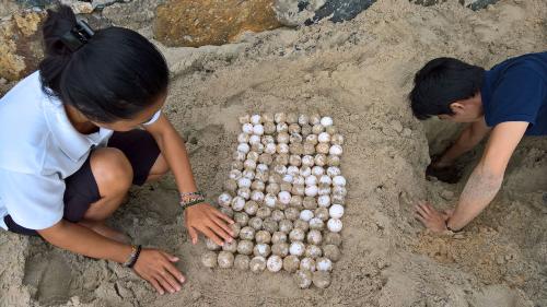 Cả 3 ổ trứng bao gồm 117 quả trong lần thứ nhất, 70 quả của lần thứ hai và 66 quả từ lần gần nhất đã được đội an ninh của resort, cùng ban quản lý Vườn quốc gia Côn Đảo nhanh chóng di dời đến địa điểm thích hợp, tránh tình trạng ngập nước và đảm bảo an toàn.