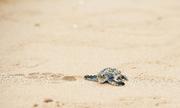 Rùa biển liên tiếp xuất hiện, đẻ trứng trên bãi biển ở Côn Đảo