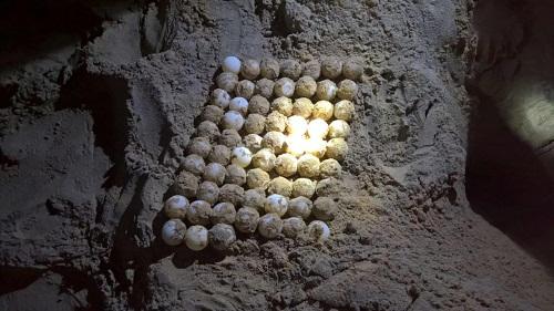 Việc rùa biển liên tục xuất hiện và lựa chọn Six Senses Côn Đảo làm nơi đẻ trứng vào những ngày đầu năm 2018 là dấu hiệu của may mắn, thịnh vượng cũng như minh chứng nơi đây đúng là thiên đường biển xanh với môi trường sinh thái lý tưởng. 45 - 60 ngày là khoảng thời gian trung bình để trứng rùa biển nở thành con nên sắp tới, theo dự đoán khu resort sẽ tiếp tục chào đón thêm những đàn rùa con mới ra đời từ các ổ trứng đang ấp.